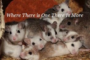 Houston Texas Rodent Removal | Remove Animals | Home | Business | Exterminator | Service | Company | Removes | Rodents | Problem | Scratching | Walls | Attic | Rats | Mice